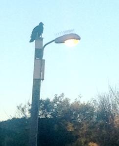 Vulture on the light pole