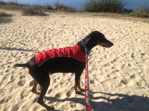 Wiley in his coat, going under cover, on his morning jaunt