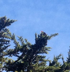 Same vulture, this time looking down from the cypress tree.....next to the site