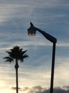 Dove on the lightpole