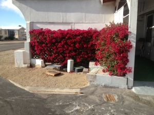 Bougainvillea growing just down the street from our site