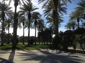 Beautiful date palm trees