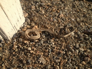 Snake skin in the gravel.  We're thinking that it must be a pretty big snake
