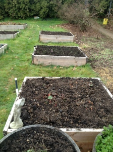 From front to back:  rhubarb, seedling onions, onion sets