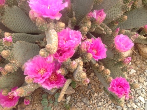 Cactus flowers.....so beautiful.