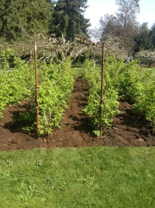 The raspberry patch.  Pruned, weeded, supports restrung, and mulched.