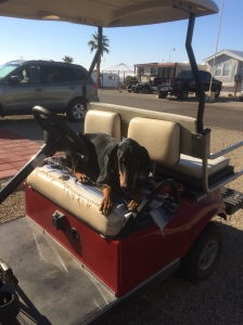 Wiley enjoying a ride in neighbor Linda's golf cart.