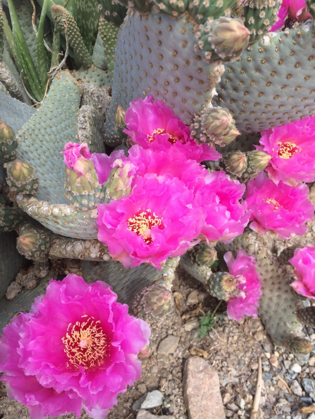 Cactus flowers.  They are just beginning to burst into bloom.