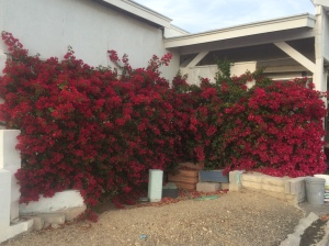 Bougainvillea.  It's full of little songbirds.