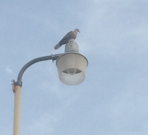 Dove.  On a light pole.