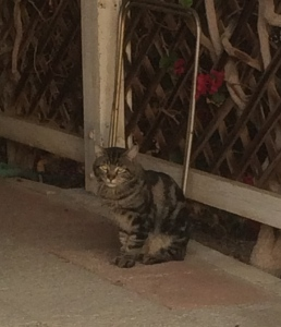 Feral cat.  He/she is being fed by the neighbor.  Perhaps, this is one of the infamous fighters?