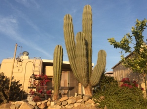 In my opinion, this is the best cactus specimen in the park.