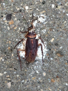 Not quite sure what this is.....beetle or cockroach?