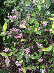 Daphne, in bloom