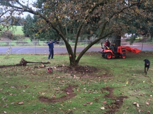 Dragging out the keeled-over apple tree.