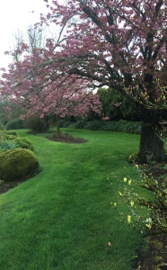 The Kwanzan cherry trees, almost in bloom.