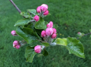 The Jonathan apple tree is nicely budded up.