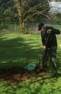 Dad, planting a Mount Morency cherry tree.  (Pie Cherry)